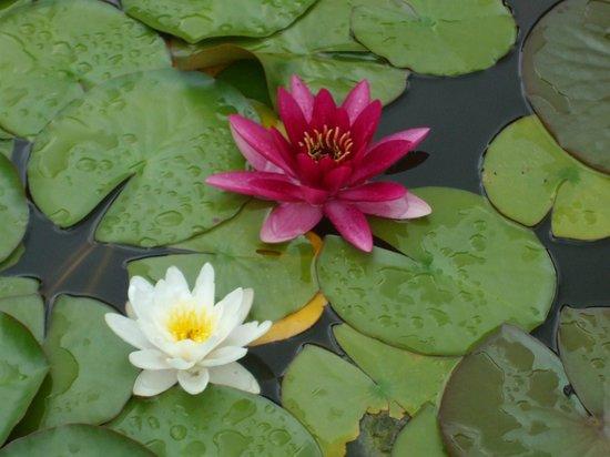 Botanical Garden (Botanischer Garten): Lilly pond