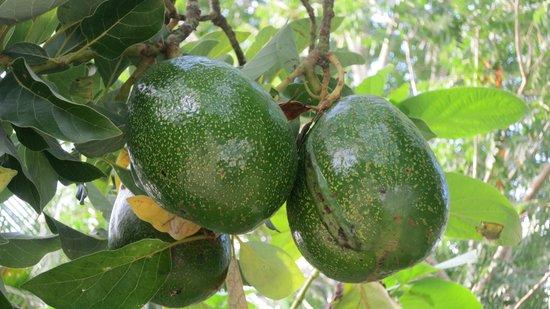 Casa Hamaca Guesthouse: Mango nel giardino di Denis