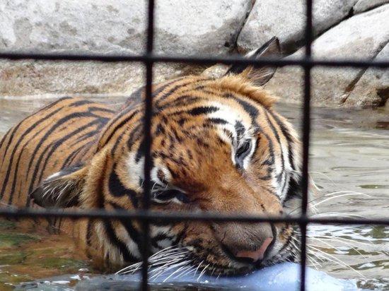 Naples Zoo at Caribbean Gardens : tiger