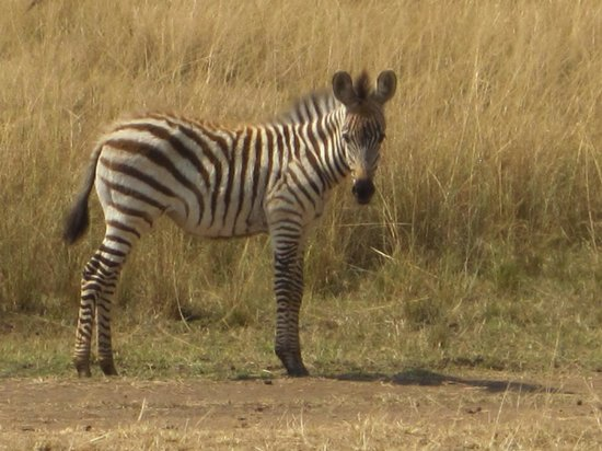Governor's Camp Day Tours: Baby Zebra