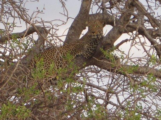 Campi ya Kanzi: Leopard
