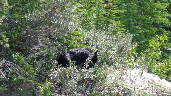 Sunwapta Falls Rocky Mountain Lodge: Black bear near Sunwapta Falls
