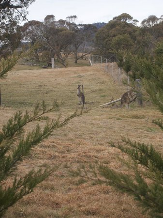 Pender Lea Chalets: Can you see the kangaroo's - they were very inquisitive - the kids loved them!
