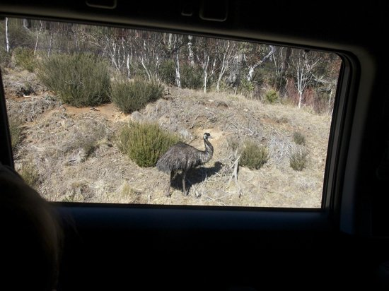 Pender Lea Chalets : On our way to Thredbo, not far away, we meet a wild emu - exciting!