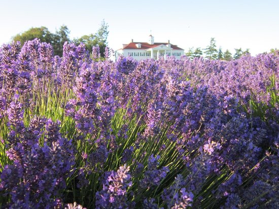 George Washington Inn : Lavender fields and B&B