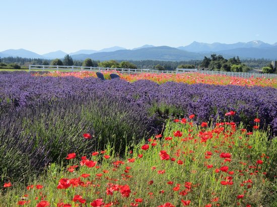 George Washington Inn: Poppies, lavender, and the Olympic mountains
