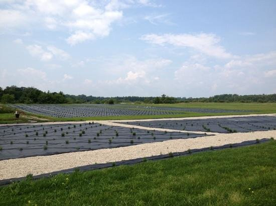 The Historic Island Dairy: lavender fields