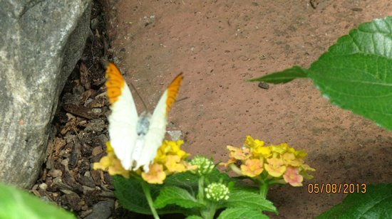 Victoria Butterfly Gardens: another beautiful specimen