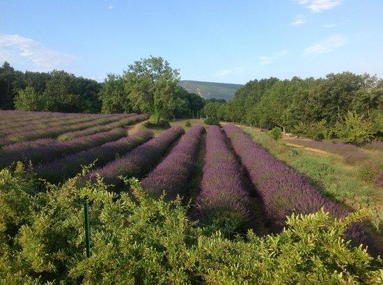 Au pied du Luberon: The lavender ...  hmmmmmm
