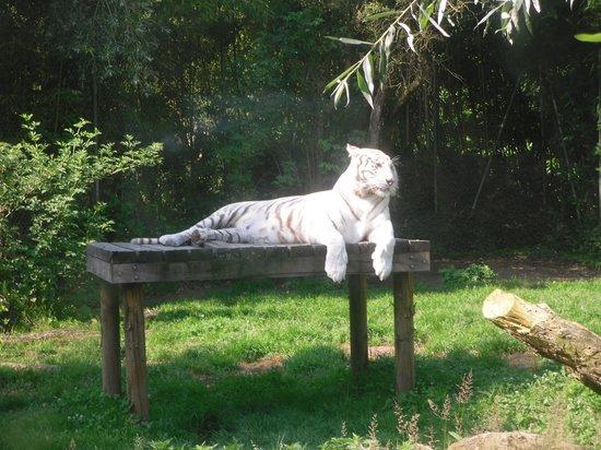 Touroparc : tigre blanc en attente de mettre bas