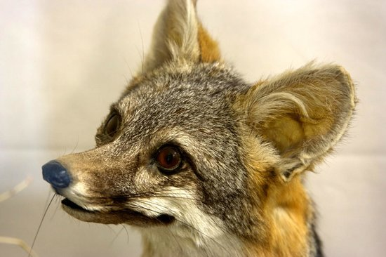Colorado River State Historic Park: Old fox