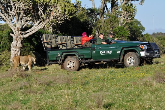 Kariega Game Reserve - River Lodge: Its behind you! A good photo to show how close the Lions are to the Land Cruisers