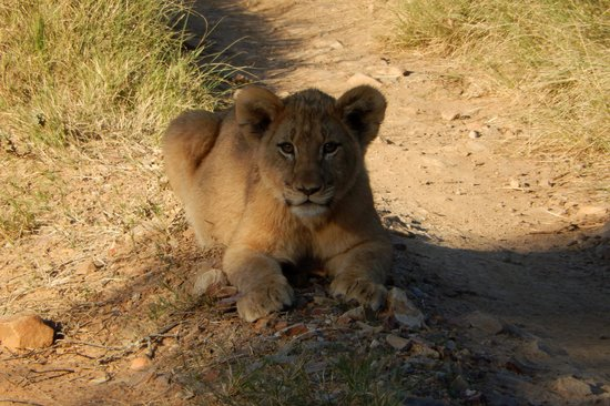 Kariega River Lodge: Our favourite Lion cub who came very close and posed for us.