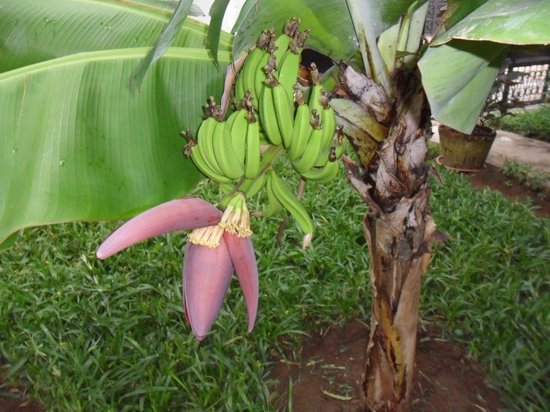 Punda Milia Paradise : Banana Tree in the grounds