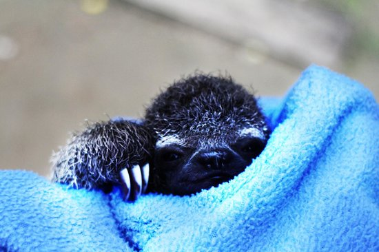 Llaquipallay Lodge and Expeditions : Baby sloth