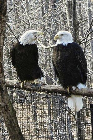Seneca Park Zoo: American Bald Eagle