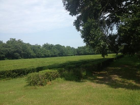 Charleston Tea Plantation: tea field
