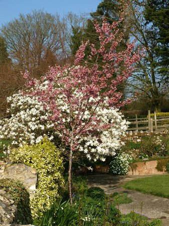Pounds Farm B&B: Two of several cherries and magnolias in the gardens.
