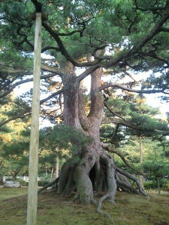 Kenrokuen Garden: 根上がりの松