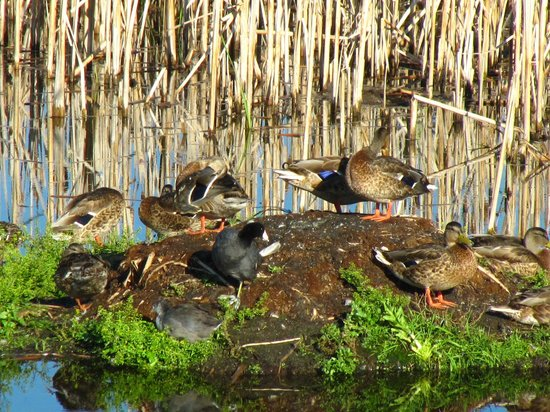 Kerry Wood Nature Centre: various ducks seen while walking around the lakes