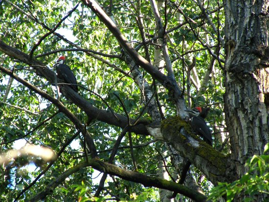 Kerry Wood Nature Centre: Pileated Woodpeckers