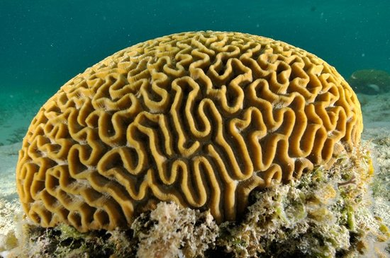 Grace Bay: Brain Coral