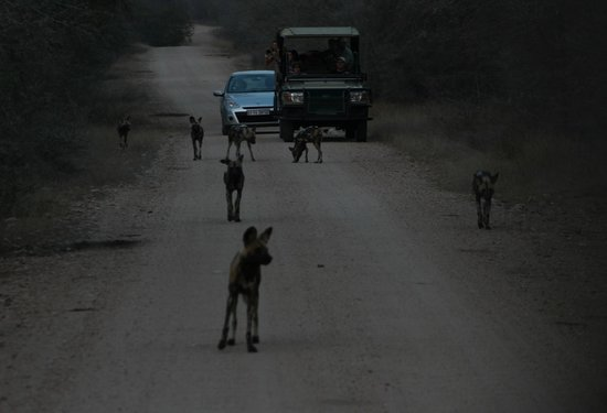 Rhino Walking Safaris at Plains Camp: Pack of wild dogs going hunting