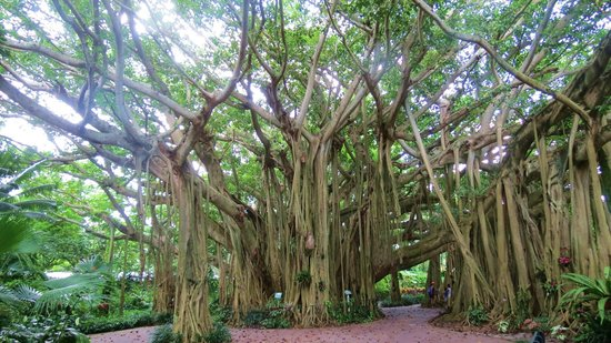 Winter Haven, FL: Awesome Banyan Tree