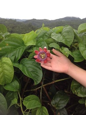 Casa Amanecer B&B: passion flower, so many fill the hedges, Casa Amanecer
