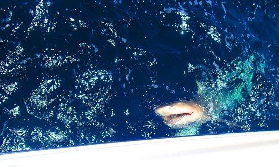 Last Cast Charters: 250 pound lemons shark
