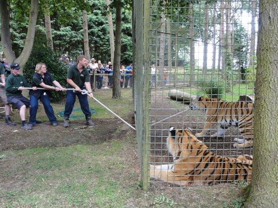 Bear Lodge Tiger Tug Of War