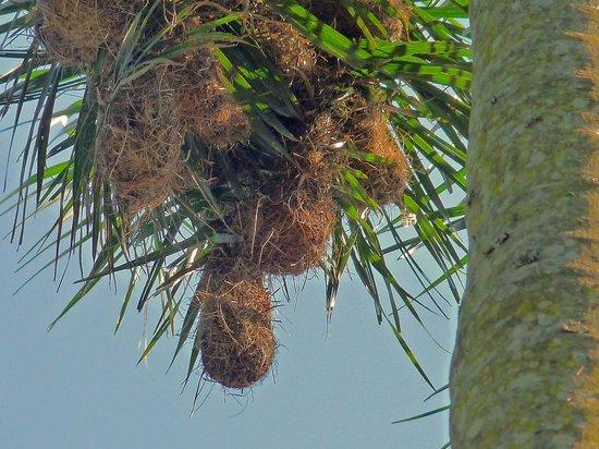 La Cantera Jungle Lodge: Nester der Webervögel