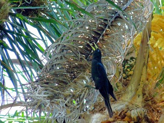 La Cantera Jungle Lodge: Webervögel auf Palme am Pool