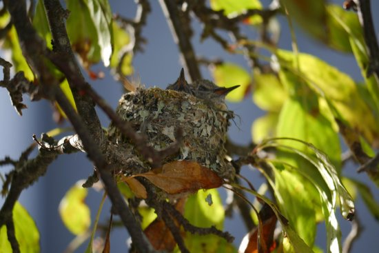 The Dungeness Barn House Bed and Breakfast: Hummingbird chicks in nest