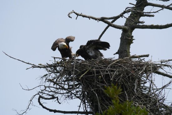 The Dungeness Barn House Bed and Breakfast: Bald eagle nest on Marine Drive