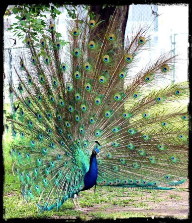 Tregembo Animal Park: peacock