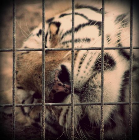 Tregembo Animal Park: tiger sleeping!