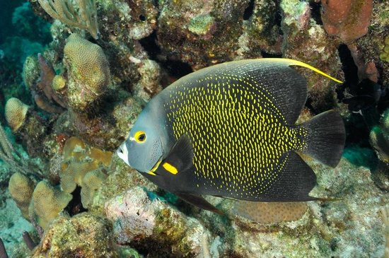 Art Pickering's Provo Turtle Divers : French Angelfish