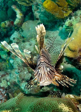 Art Pickering's Provo Turtle Divers: Lionfish