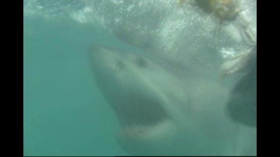 White Shark Safaris: Great White Shark Cage Diving