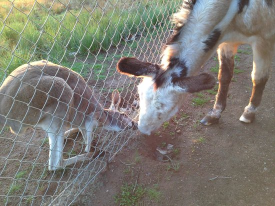 Hilltop Resort : Roo and donkey