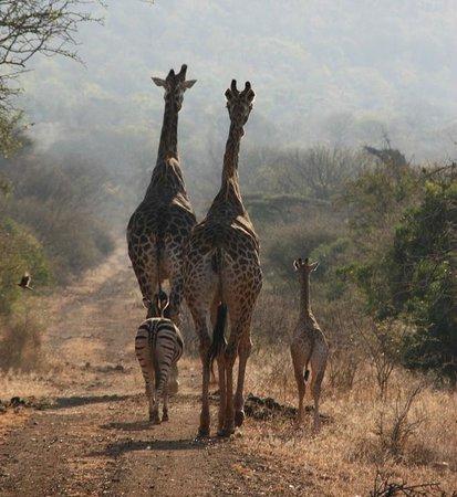 Mvubu River Lodge: The Giraffe George and his family