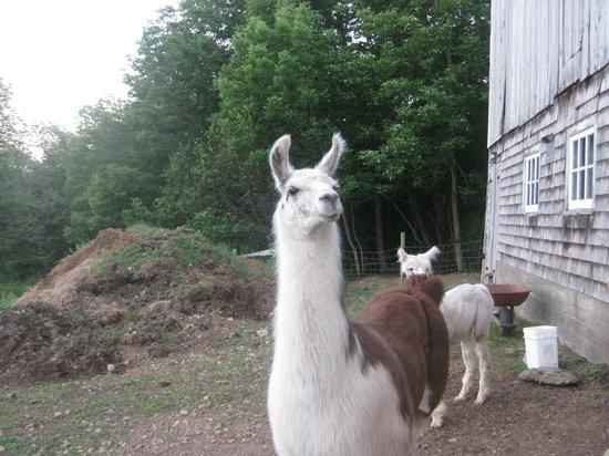 Azelia Farmhouse B & B: alpagas et lama sur la ferme