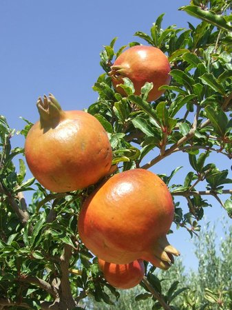 St. George's Retreat Village: Pomegranate tree in the gardens