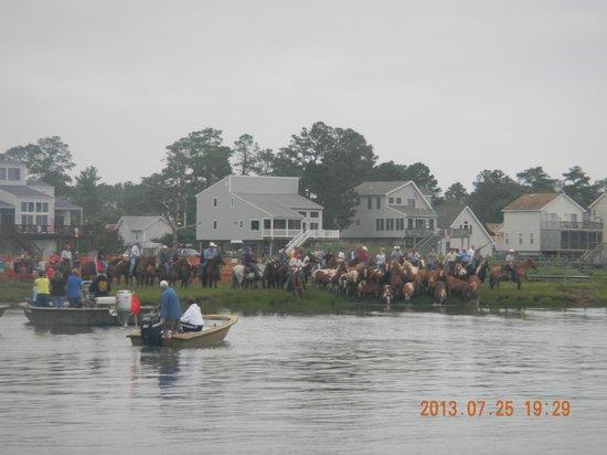 Assateague Explorer Wildlife Cruises: Ponies on the return swim