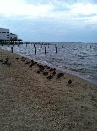 River Edge Inn: Ducks on beach down the boardwalk