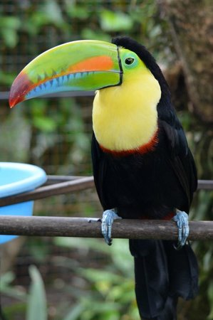 El Oasis Hotel & Restaurant: Oscar the toucan who lives in the cage by the breakfast area