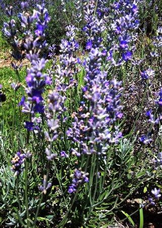 Bleu Lavande : The plant in question