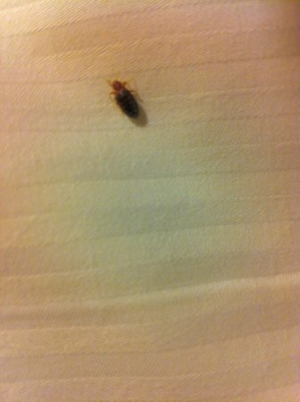 East Brunswick, NJ: a nice photo of the BED BUG crawling in our bed in room 1040