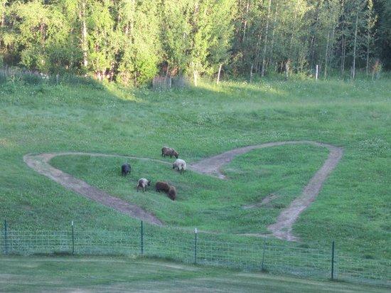 Alaska's Harvest B&B : Sheep grazing behind the B&B